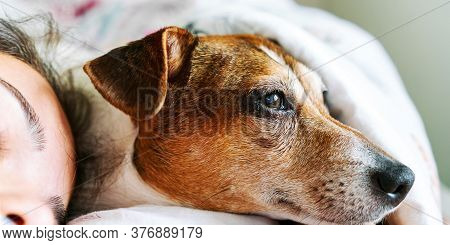 Puppy Muzzle With Brown White Fur Lies On Pillow Under Blanket By Teenager Girl Face At Home In Morn