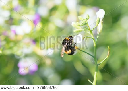 Bumblebee Sits On A Flower. Bumblebee Eating Pollen