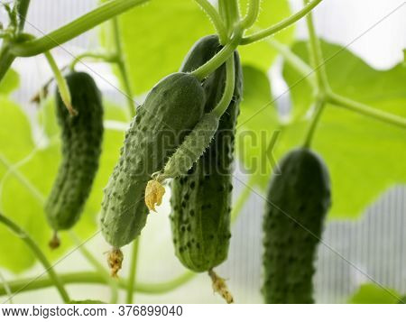Green Crunchy Cucumbers Close-up. Home Farming Concept .selective Focus