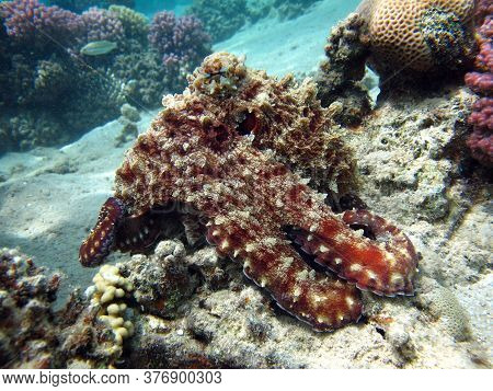 Octopus. Big Blue Octopus. On The Red Sea Reefs.