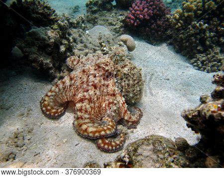 Octopus. Big Blue Octopus On The Red Sea Reefs.