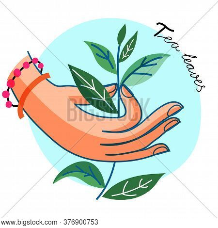 Tea Leaves In Woman Human Hand With Bracelet On Blue Round Backdrop. Herbal Sprig. Botanical Sprout.