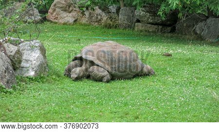 Galapagos Giant Tortoise, Chelonoidis Eating Grass. It Is The Largest Living Species Of Tortoise. It
