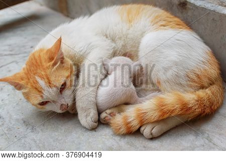 A Mother Cat In White And Brown Hair Feeding Her Kittens. Kittens Suck On A Cat's Chest. Cat Lifesty