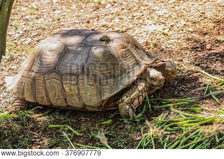 Close Up Of African Spurred Tortoise Or Geochelone Sulcata In The Garden. Sulcata Tortoise Is Lookin