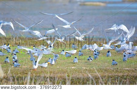 As The Water Level Recedes And Exposes Submerged Rocks, Thousands Of River Terns And Pratincoles Flo