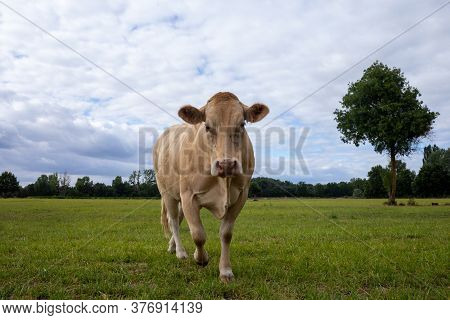 White Hornless Beef Cow On The Field, Bovine French Cow