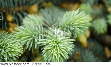 Selective Focus Nature Picture. Closeup Photo Of Green Needle Pine Tree. Small Pine Cones And Raindr