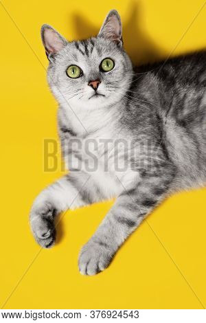 Grey And Silver Tabby Cat With Green Eyes Lying With Bent Paws. Emotional Pet Portrait. Surprised Or
