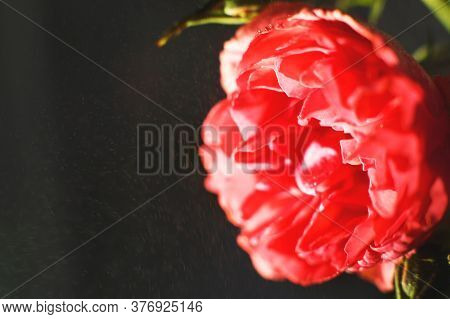 Red Rose With Strong Contrast On A Black Background