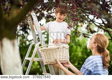 Kid picking berries.Mother and smiling son together pick cherry.