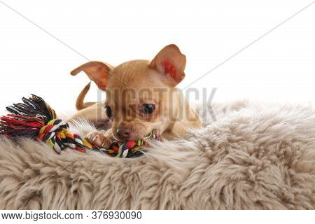 Cute Chihuahua Puppy With Toy On Faux Fur. Baby Animal