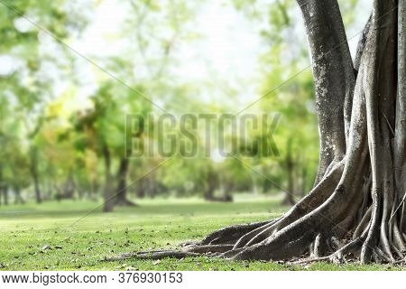 Big Tree With Trunk And Roots Spreading Out Beautiful On Grass Green In Nature Forest Background Wit