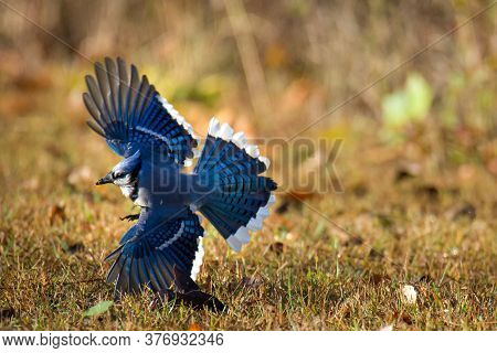 Cyanocitta Cristata Blue Jay In Flight And Banking Left With The Wings And Tail Fully Shown