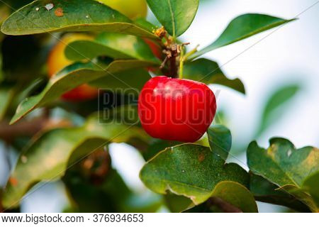 Acerola Cherry On The Tree , High Vitamin C And Antioxidant Fruits. Fresh Organic Acerola Cherry On