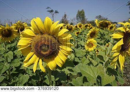 Flowering Sunflower In The Field. Sunflowers Have Abundant Health Benefits. Sunflower Oil Improves S