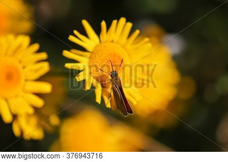 Lulworth Skipper,thymelicus Acteon, Sitting On Yellow Flower