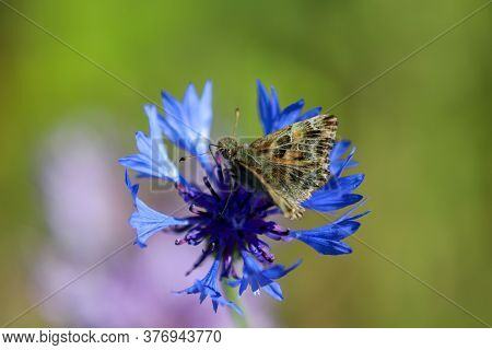 Mallow Skipper, Carcharodus Alceae, Sitting On Blue Cornflower Blossom