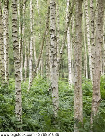 Beautiful Landscape Forest Image Of Silver Birch Tress Receding Into The Distance Wth Shallow Depth