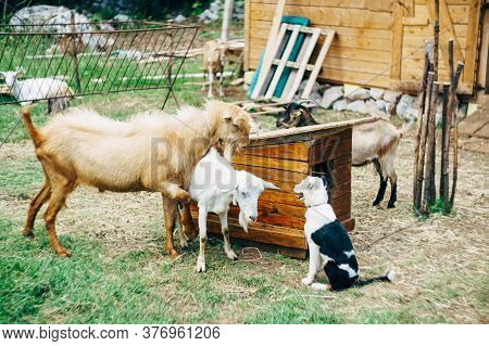 Goat And Goat Near A Doghouse And A Dog On A Goat Farm.