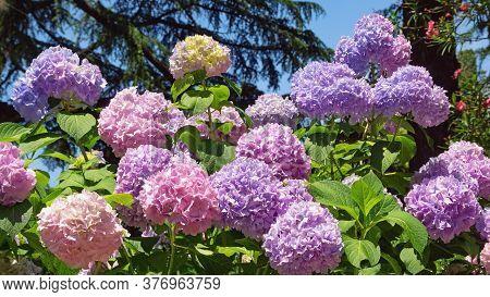 Colorful Flowers Of Hydrangea  (  Hydrangea Macrophylla ) In Garden