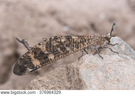 A Photo Showing Lateral View Of Antlion (indopalpares Pardus) Sitting On A Rock