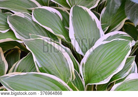 Beautiful Green Leaves With A White Edge Variegated Hosta Create A Natural Background
