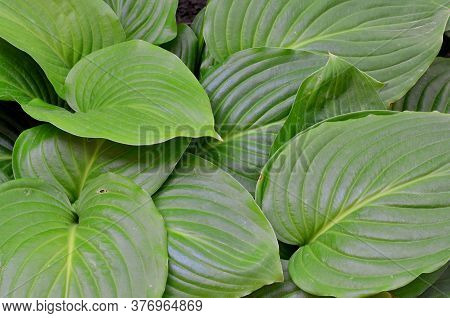 The Green Leaves Of The Large Hosta Create A Dense Natural Cover