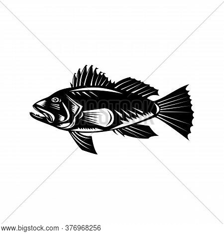 Retro Woodcut Style Illustration Of A Black Sea Bass (centropristis Striata), An Exclusively Marine