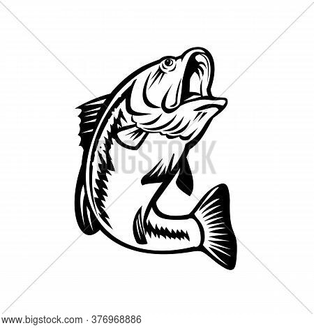 Illustration Of A Bucketmouth Bass Or Largemouth, Species Of Black Bass And A Carnivorous Freshwater