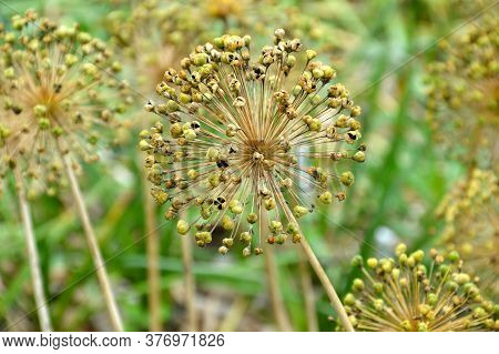 Wilted Allium Flower With Seeds On Green Background