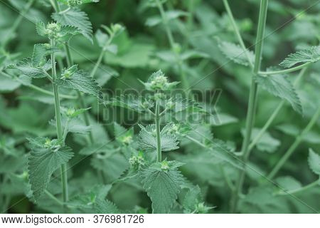 Abstract Natural Background With Inflorescences And Mint Leaves