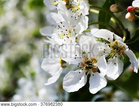 Branch Of Gentle White Flowers Of A Pear