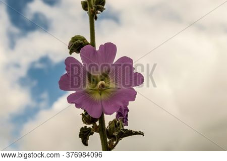 Hollyhocks In Bloom In The Mountain Of The Island Of Crete