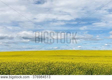 An Image Of A Yellow Canola Seed Field In Full Bloom Under A Cloudy Sky.