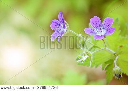 Woodland Geranium (geranium Sylvaticum) On A Blurred Green Background. Violet Forest Flowers. Postca