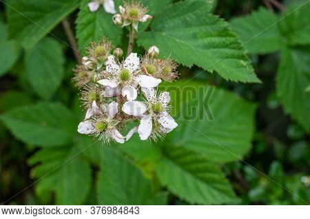 A Small Twig Of A Bramble Shrub With White Blossoms