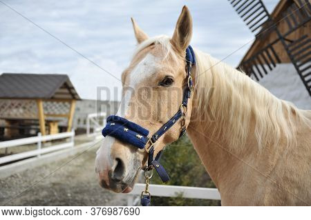 Portrait Of Blonde Horse With A White Mane