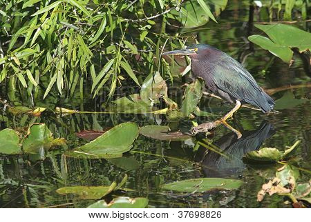 Green Heron (butorides Virescens)