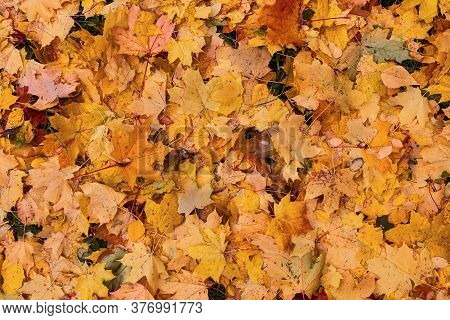 Autumn Leaves Yellow Red Maroon Multicolored Maple On The Grass .