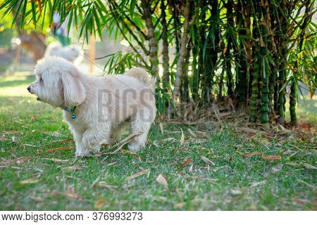 Poodle Terrier Dog Standing The Green Park, Cute White Poodle Dog, Animal Funny, Poodle Smile Lookin