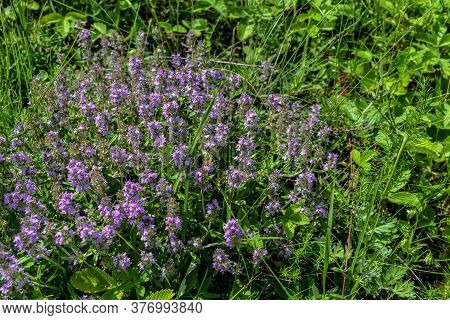 Juicy Fresh Bush Of Elfin Thyme With Many Lilac Flowers On A Background Of Green Grass In A Meadow.