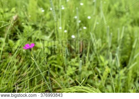 Bright Purple Meadow Carnation (dianthus Pratensis) Flower With Bud On Blurred Grass Background. Bea