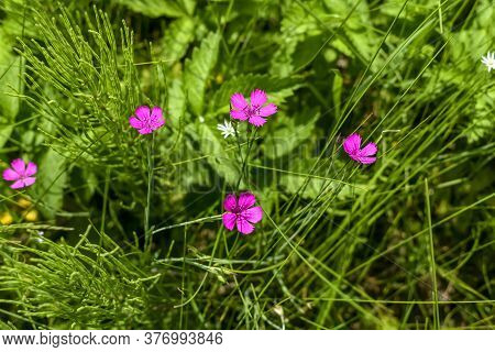 Four Delicate Pink Flowers Of The Field Carnation (dianthus Campestris) Among The Green Grass And Th