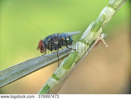 Oriental Latrine Fly - Green Flies, Close Up Details Of Flies
