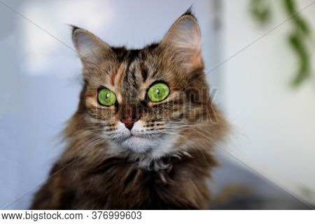 Beautiful Domestic Cat With Green, Smart Eyes. Three-color Cats Hair: White, Red And Black. Domestic