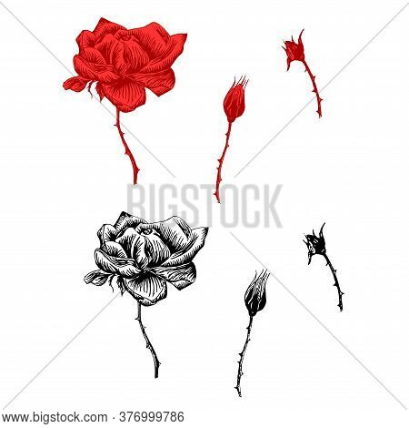 Rose Original Set. Monochrome And Red Ink Hand Drawn Flowers Art Design Element Object Isolated Stoc