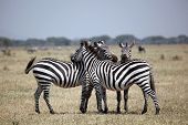 Three zebras, resting and on the lookout on the plains of Serengeti National Park, Tanzania poster