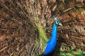 Proud peacock displaying colourful spread plumage with bright bluegreen and turquoise feathers poster