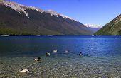 Pure lake rotoiti in New Zealand, lovely ducks poster